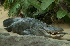 Legen des Krokodils Lizenzfreie Stockbilder