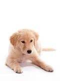 Legen des Welpen-goldenen Apportierhunds Stockfotos