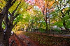Legen Sie rote gelbe Blätter Ahorn Ginkgo im Herbst einen Tunnel an Lizenzfreie Stockfotos