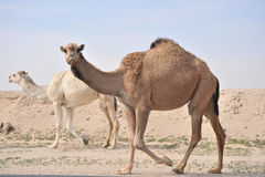Legend Of The Desert. A huge camel looking in the desert Royalty Free Stock Images