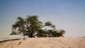Legendariskt träd av liv, Bahrain öken royaltyfri fotografi