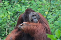 The legendary alpha male Borneo Orangutan (called Richie) at the Royalty Free Stock Photos