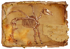 Legendary animals and monsters: PEGASUS. Illustration of a series of legendary animals and monsters (skeleton): PEGASUS. An hand drawn and painted full sized Stock Photography