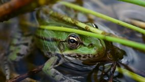 Legendary frog. This cute frog looked at me for 5 minutes stock video