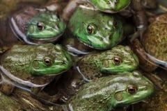 Leger van kikkers en schildpadden in een vijver stock foto's