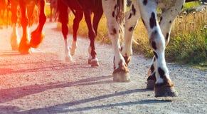 Legged horses in a row Stock Image