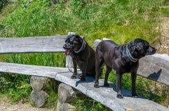 Leggen de labrador Zwarte Honden op een houten bank in de bergen Royalty-vrije Stock Fotografie