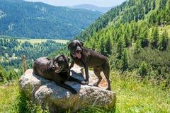 Leggen de labrador zwarte honden op een rots in de bergen Stock Fotografie