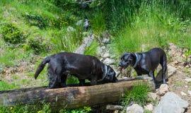 Leggen de labrador zwarte honden op een rots in de bergen Royalty-vrije Stock Foto
