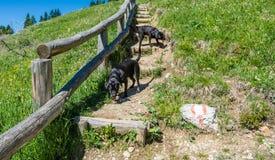 Leggen de labrador Zwarte Honden op gras in de bergen Royalty-vrije Stock Fotografie