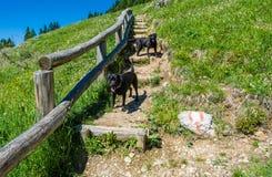 Leggen de labrador Zwarte Honden op gras in de bergen Royalty-vrije Stock Afbeelding