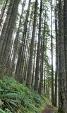 Leviathan conifers stretch upward to overcast dawn sky. Leggy and oversized trees make for the forest in the pacific northwest.  Ferns decorate as groundcover Royalty Free Stock Photo
