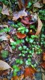 Wet wintergreen leaves shine in the autumn Catskills stock image