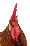 leghorn κόκκορας πορτρέτου Στοκ Φωτογραφία