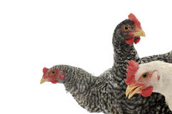 Leghorn hen. Profile view of 3 Leghorn hen Royalty Free Stock Images