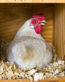 Leghorn hen on eggs Stock Photo