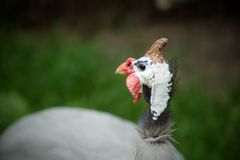 Leghorn kurczak Obrazy Royalty Free