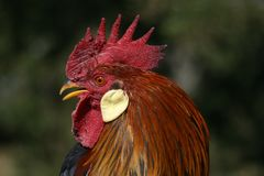 Leghorn Rooster Stock Photo