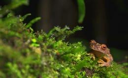 Legler ` s strumienia żaba obrazy royalty free