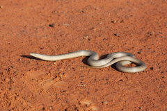 Legless lizard Stock Photo