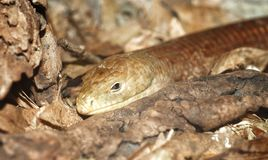 Legless lizard Stock Photos