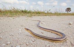 Legless Lizard Stock Photo
