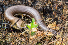 Legless lizard. Hiding in the grass Royalty Free Stock Photography