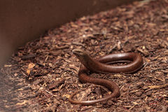 Legless lizard Scheltopusik is scientifically known as Pseudopus Stock Photo