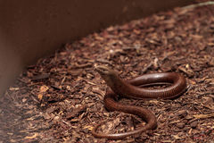 Legless lizard Scheltopusik is scientifically known as Pseudopus Royalty Free Stock Images