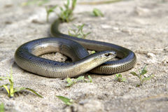 Legless lizard Slow Worm lying on the sand on the edge of the fo Stock Image