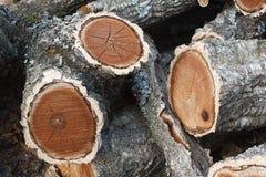 Legna da ardere dell'albero di sughero dell'Amur fotografia stock libera da diritti