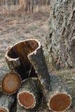 Legna da ardere dell'albero di sughero dell'Amur fotografie stock