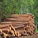 Legname che raccoglie per l'industria del legname o la costruzione di alloggi di legno Fotografia Stock