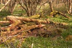 Legname di decomposizione in terreno boscoso inglese Immagine Stock