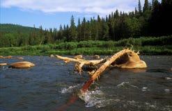 Legname galleggiante attaccato su una pietra nel fiume Fotografia Stock
