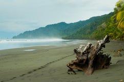 Legname galleggiante sulla spiaggia nera Fotografia Stock