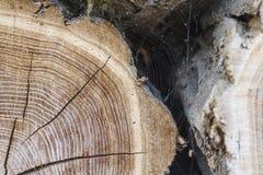 Legno con gli anelli di albero Fotografie Stock Libere da Diritti