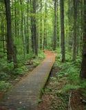 legno conifero dell'Ucraina del percorso di foresta dell'Europa orientale Fotografia Stock Libera da Diritti
