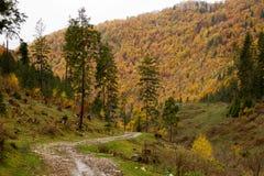 legno conifero dell'Ucraina del percorso di foresta dell'Europa orientale Immagine Stock