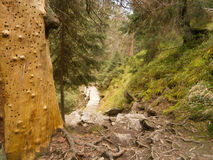 legno conifero dell'Ucraina del percorso di foresta dell'Europa orientale Immagini Stock
