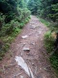legno conifero dell'Ucraina del percorso di foresta dell'Europa orientale Immagini Stock Libere da Diritti