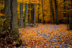 legno conifero dell'Ucraina del percorso di foresta dell'Europa orientale immagine stock libera da diritti