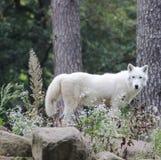 legno del giardino della natura del lupo bianco fotografie stock libere da diritti