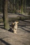 legno del lioness fotografia stock libera da diritti