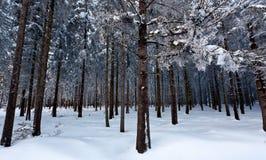 Legno del pino della neve di inverno, alte paludi, Belgio Fotografia Stock