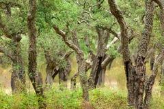 Legno dell'albero di sughero Fotografie Stock
