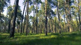 legno dell'albero forestale della depressione di volo Chiarore di Sun Priorità bassa della natura archivi video