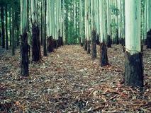 Legno dell'eucalyptus Fotografia Stock Libera da Diritti