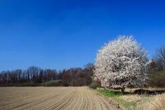 Legno della ciliegia selvatica Fotografia Stock