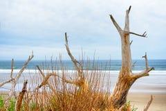 Legno della deriva ed erba del mare Immagine Stock